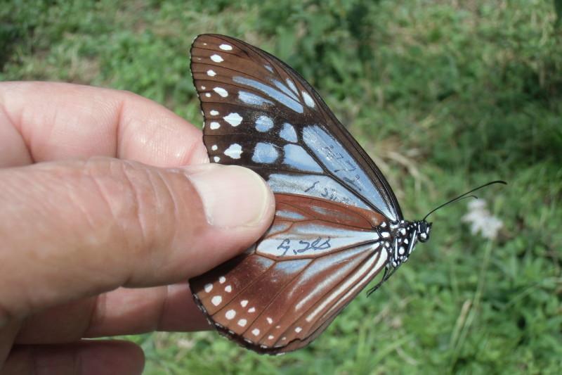 【サンプル写真】神秘の蝶 アサギマダラ