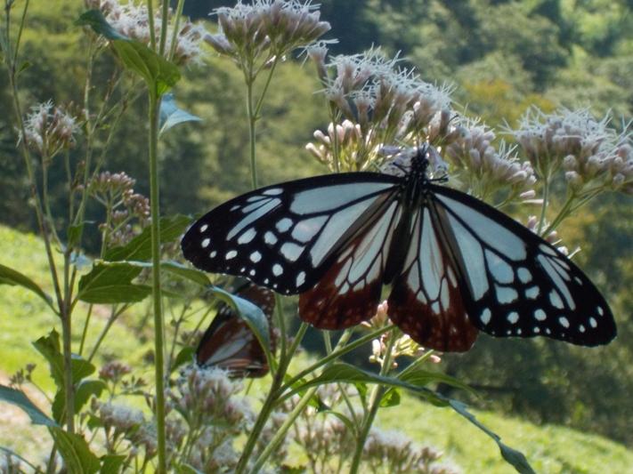神秘の蝶 飛来