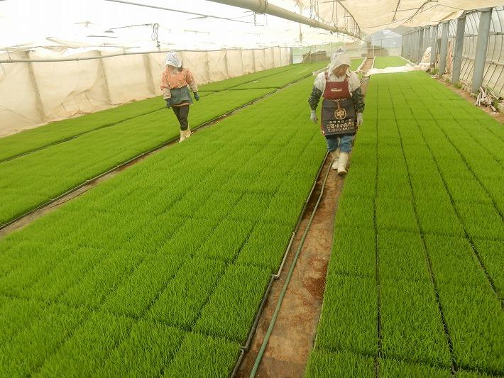 坪根育苗ハウスで田植えを前に準備する二人の女性(2枚組)