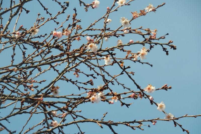 寒桜が咲いていました(1/2)