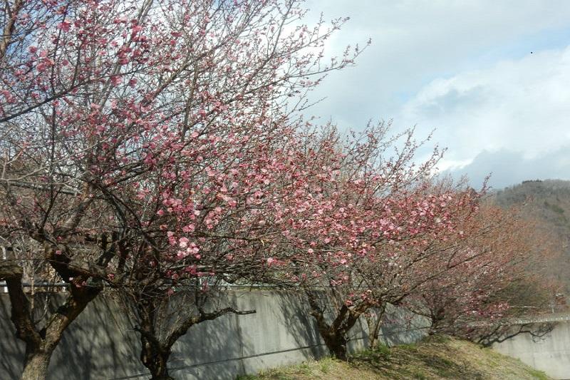 七二会荘にも春が