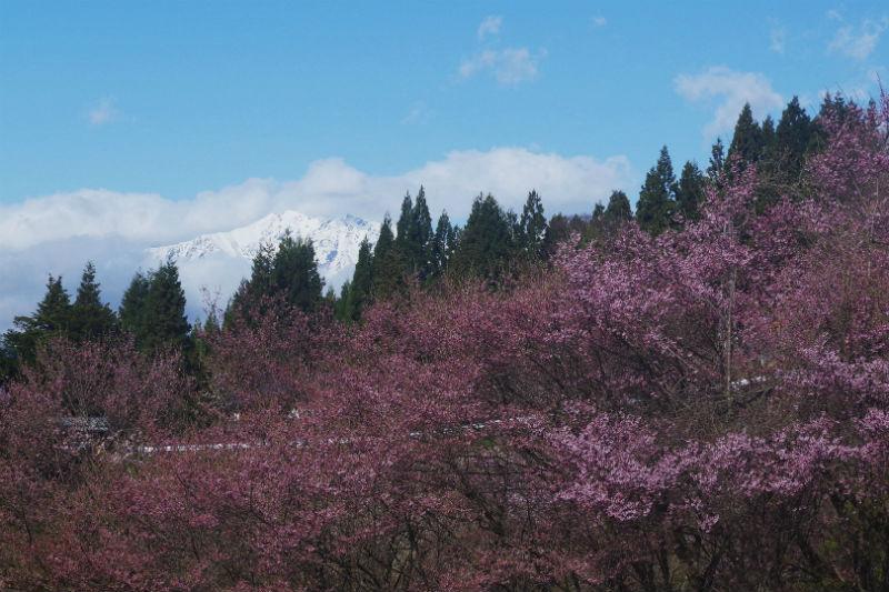 桜とアルプス(1/3)