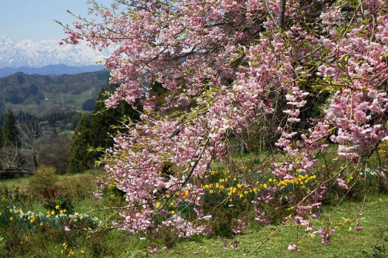 戸倉~春日山神社の桜(3/8)