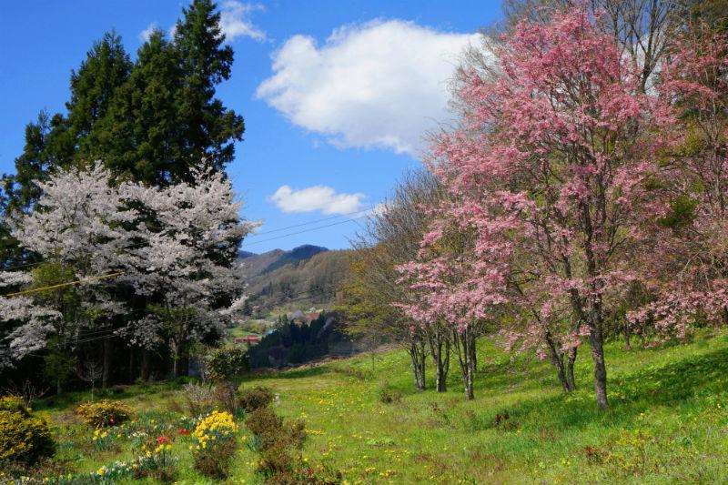 戸倉~春日山神社の桜(4/8)