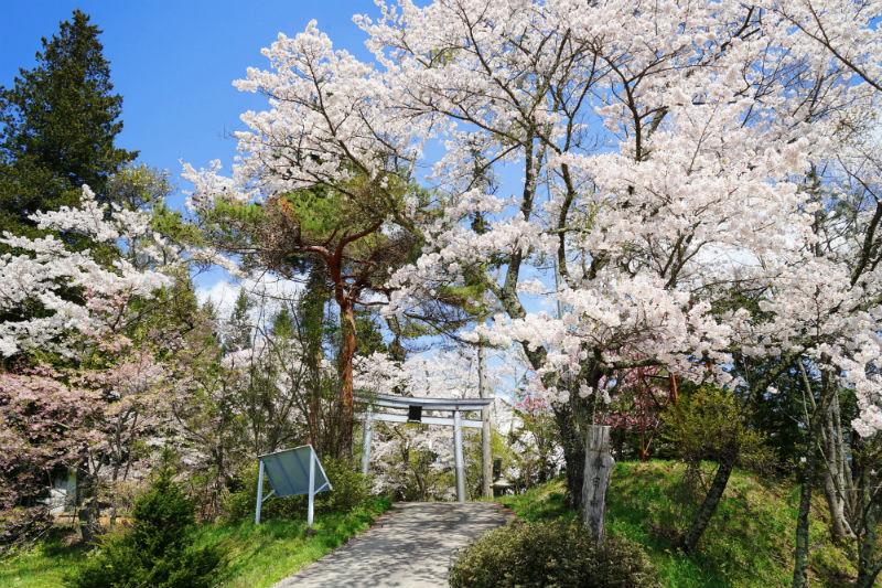 戸倉~春日山神社の桜(6/8)