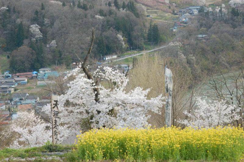 荒神様の桜の古木