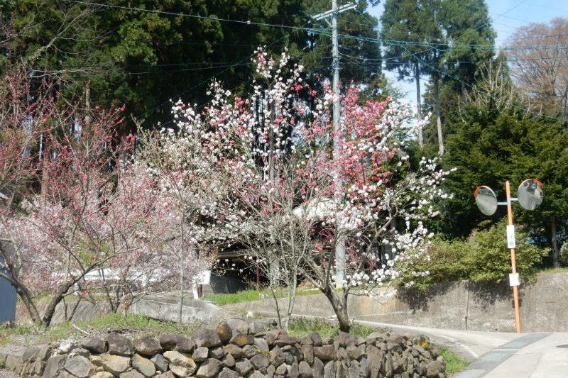 新屋の桜(2/2)