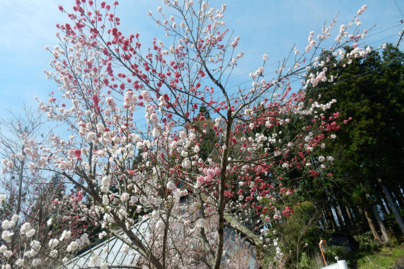 新屋の桜(1/2)
