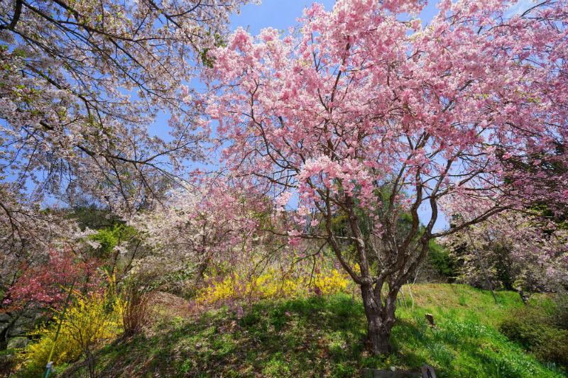 平出地区 正泉寺の桜