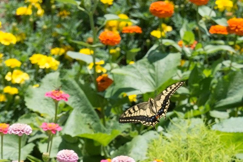 キアゲハ 飛んでいる所!花がいっぱい