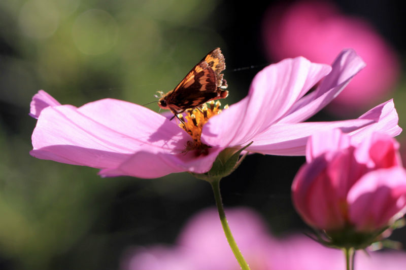 秋の蝶(1/2)