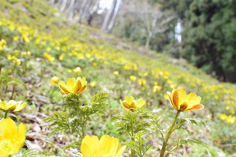 小坂の福寿草