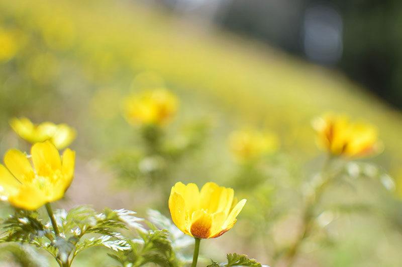 福寿草の花言葉