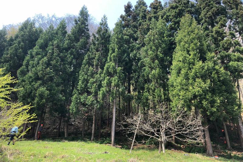 笹平地区の間伐終了。古間地区も一部実施