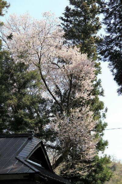 守田神社の桜(2/2)