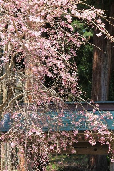 守田神社の桜①