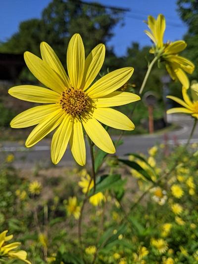 今月の花だより 9月の花~レモンクイーン~